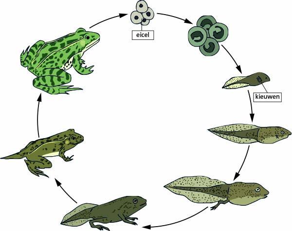 Genoeg Hoe dieren groeien &ZD24